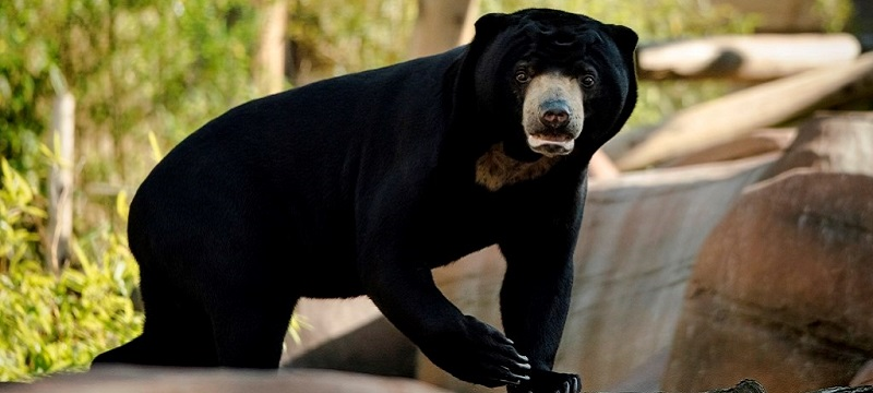 Photo of a sun bear.