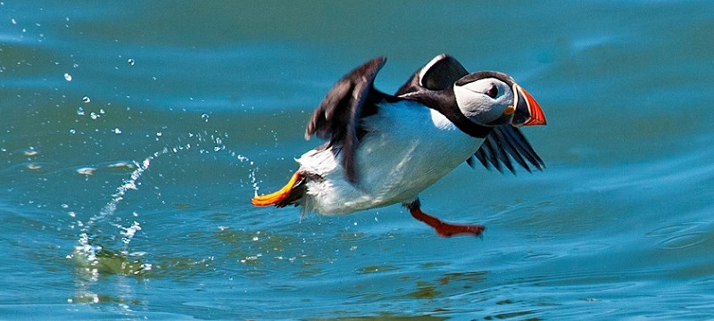 Photo of a puffin.
