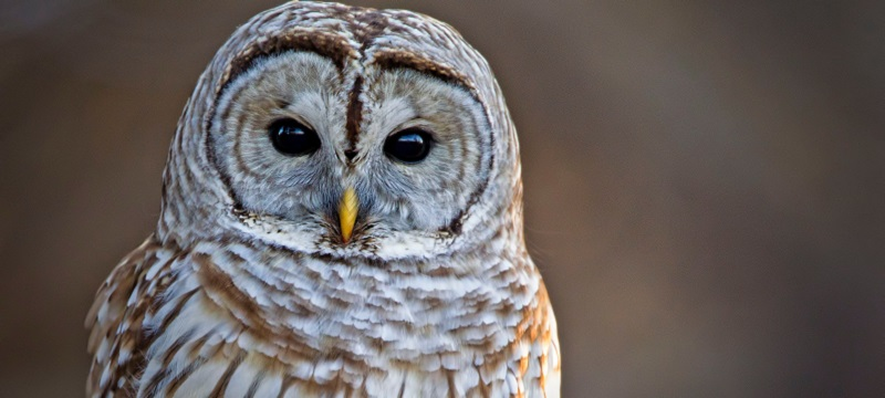 Photo of an owl.