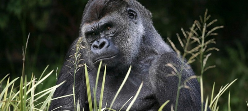 Photo of a gorilla at London Zoo.