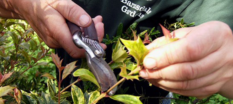 Image of someone pruning a bush