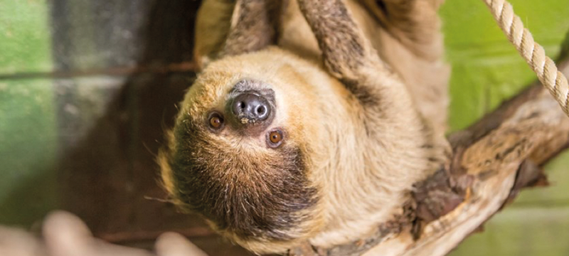 Image of a sloth hanging upside down
