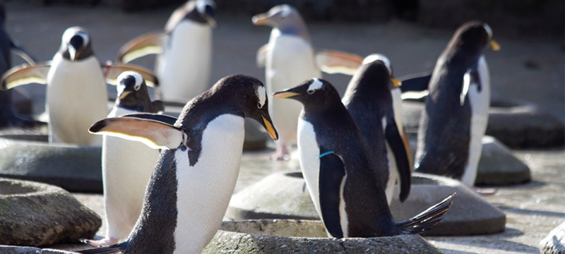 Image of penguins at Edinburgh Zoo