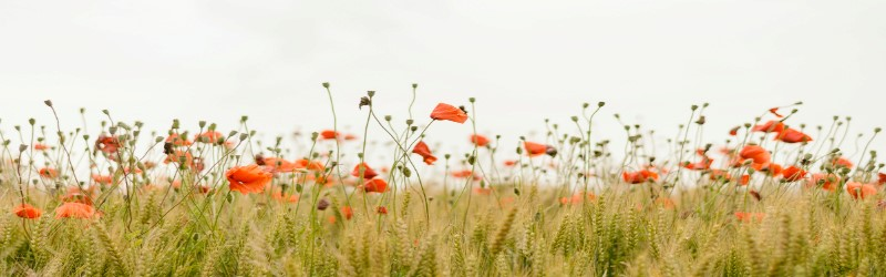 An image of a field of red flowers.