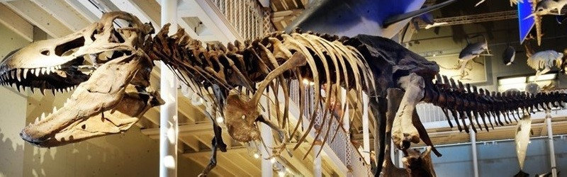 Photo of a dinosaur skeleton.