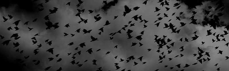 Photo of crows flying.