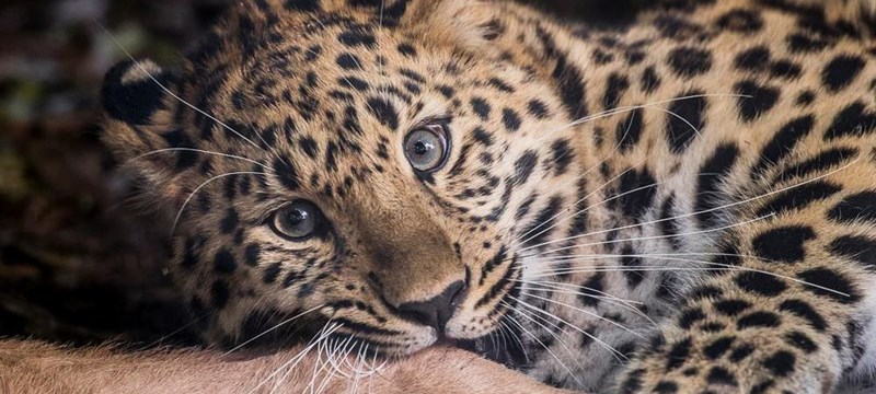Image of a leopard cub staring at the camera.