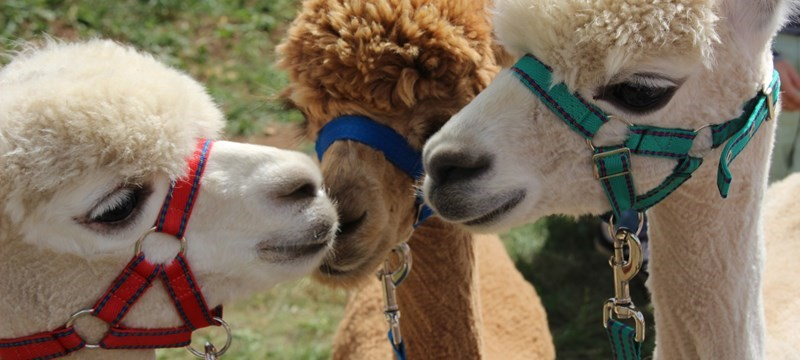 Photo of alpacas.