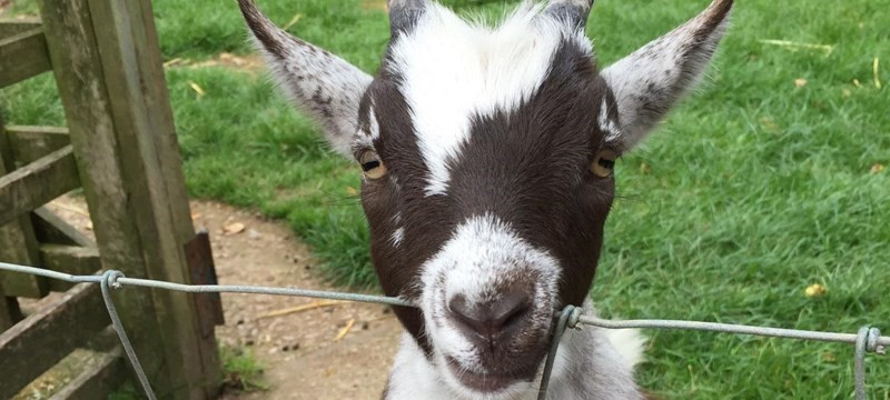 Photo of a goat.