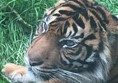 Picture of South Lakes Safari Zoo - Tiger