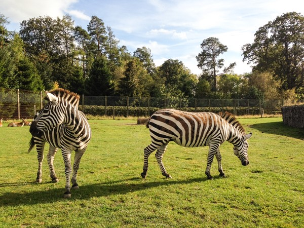 Picture of Blair Drummond Safari Park - Zebra