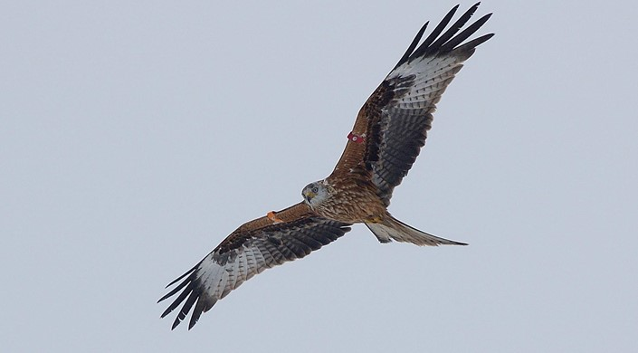 Argaty Red Kite Project