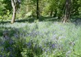 Bluebells at Thorp Perrow