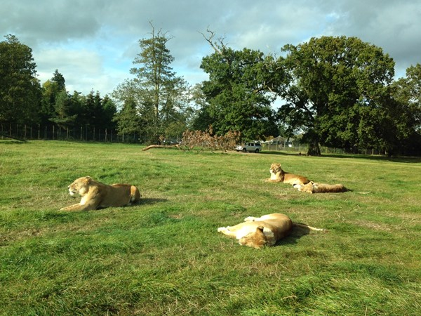 Picture of Blair Drummond Safari Park - Lions