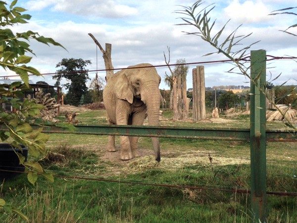 Picture of Blair Drummond Safari park - Elephant