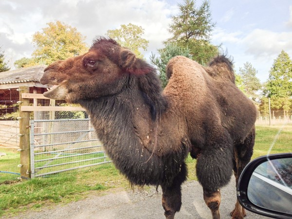 Picture of Blair Drummond Safari Park - Camel
