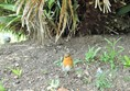 A robin visitor while I had lunch