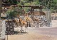 Giraffes  at Oasis Park